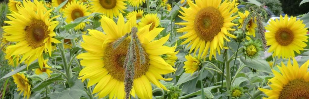 cropped-sonnenblumen-1024x330